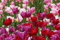 Grußkarte »Tulpenfeld«