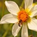 Briefkarte Blume mit Biene